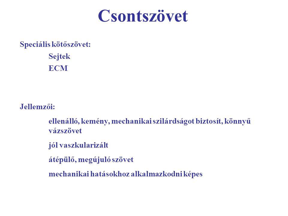 Csontszövet Speciális kötőszövet: Sejtek ECM Jellemzői: