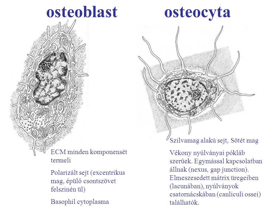 osteoblast osteocyta Szilvamag alakú sejt, Sötét mag