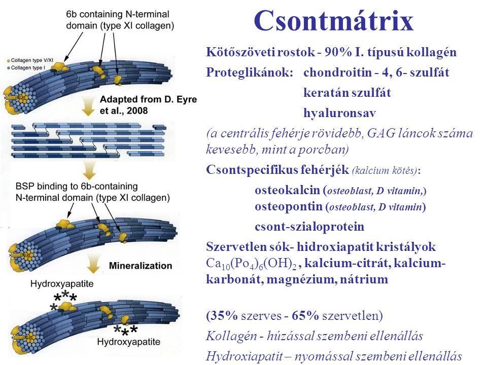 Csontmátrix Kötőszöveti rostok - 90% I. típusú kollagén