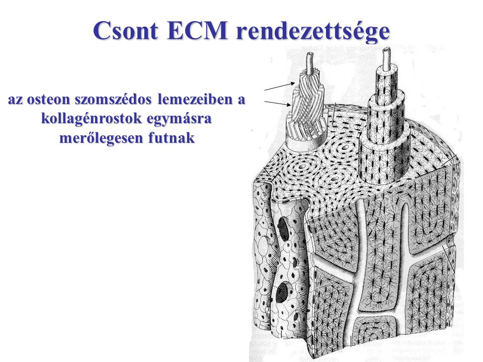 Csont ECM rendezettsége