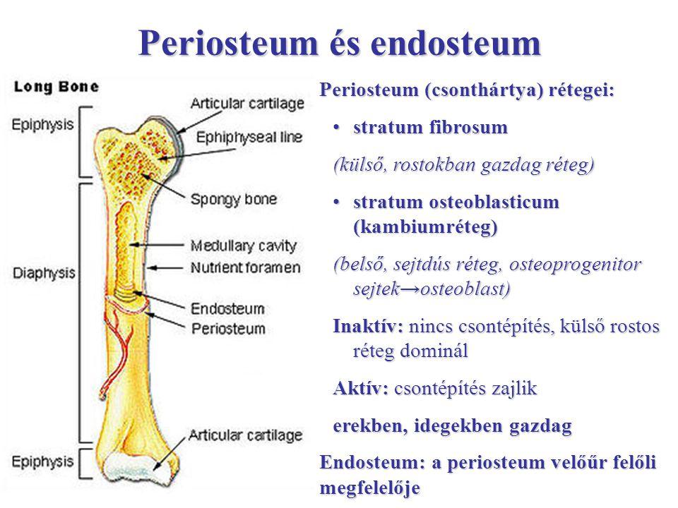 Periosteum és endosteum