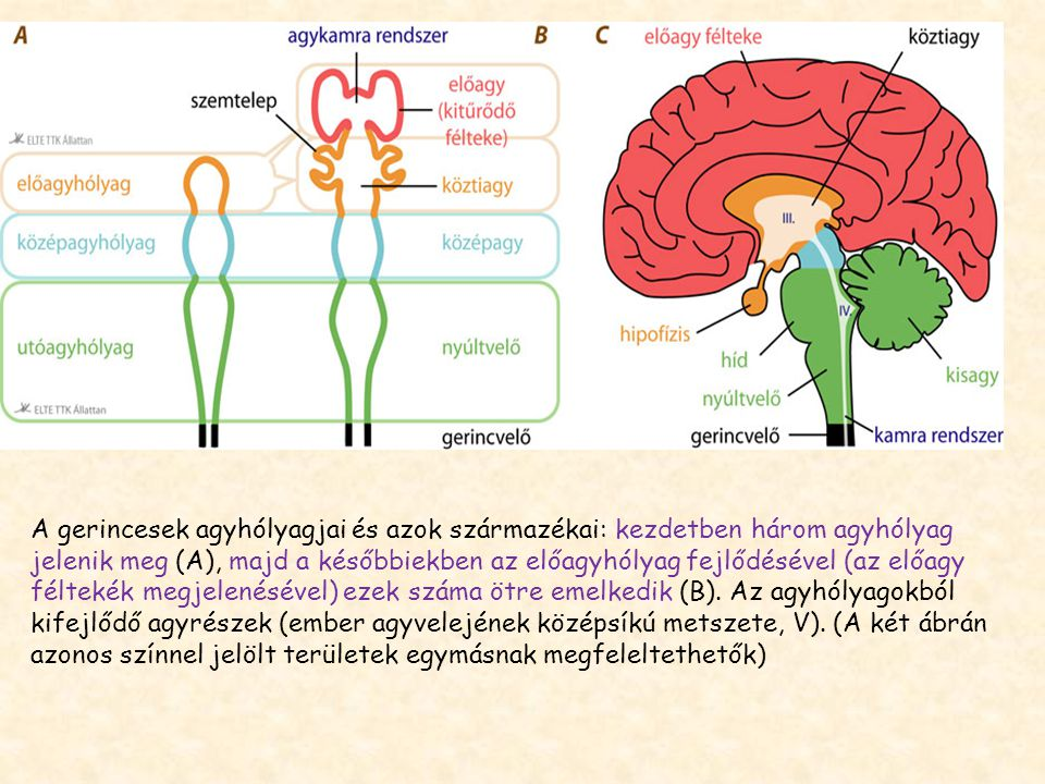 A gerincesek agyhólyagjai és azok származékai: kezdetben három agyhólyag jelenik meg (A), majd a későbbiekben az előagyhólyag fejlődésével (az előagy féltekék megjelenésével) ezek száma ötre emelkedik (B).