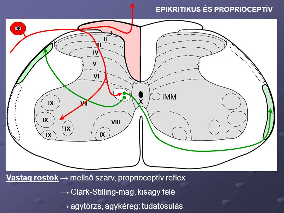 Vastag rostok → mellső szarv, proprioceptív reflex