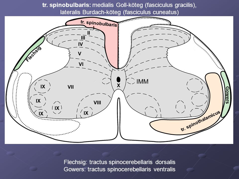 tr. spinobulbaris: medialis Goll-köteg (fasciculus gracilis),