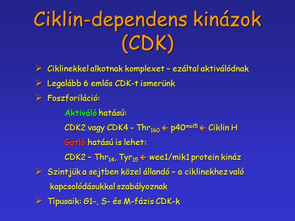Ciklin-dependens kinázok (CDK)