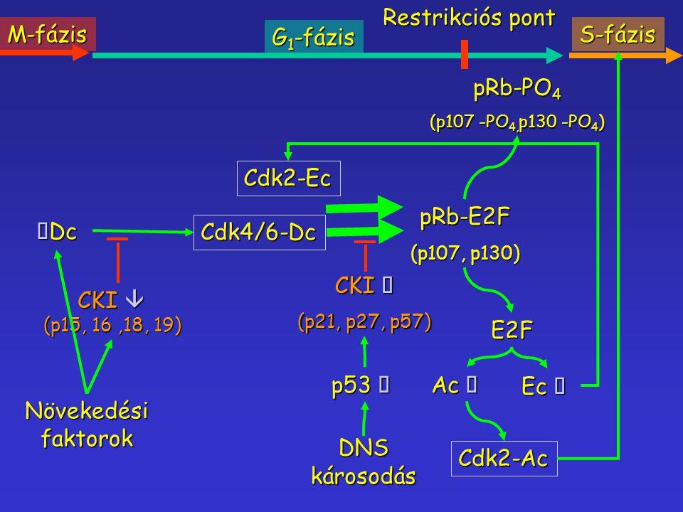 Restrikciós pont M-fázis G1-fázis S-fázis pRb-PO4 Cdk2-Ec pRb-E2F áDc