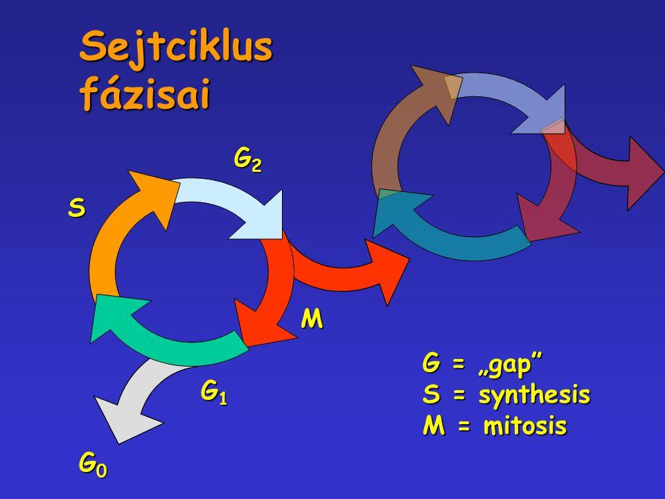 "Sejtciklus fázisai S G2 G1 M G0 G = ""gap S = synthesis M = mitosis"
