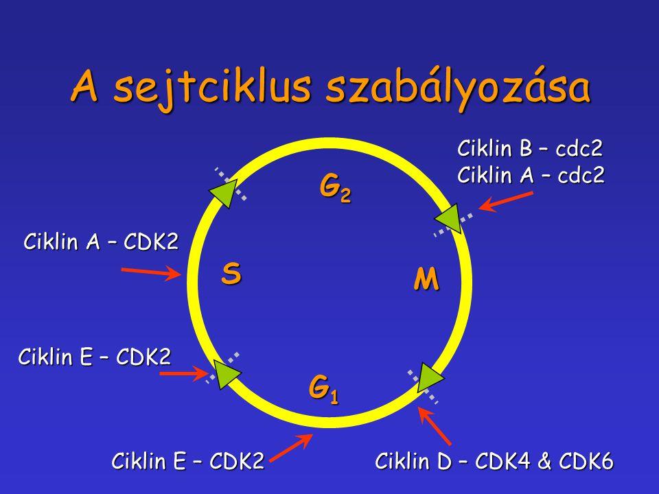 A sejtciklus szabályozása