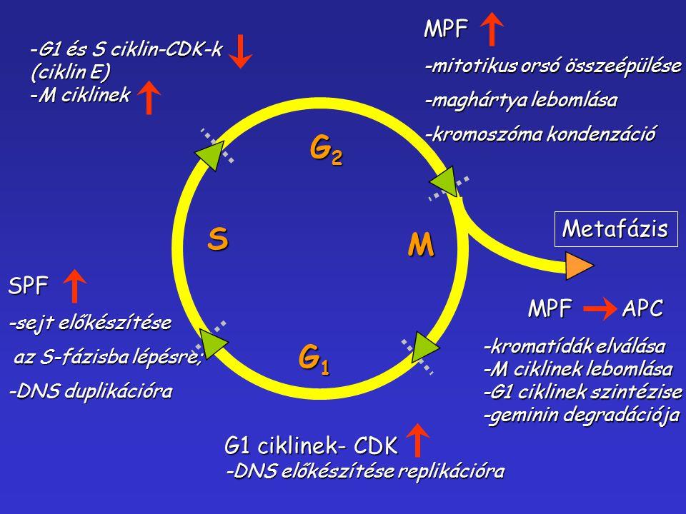 G2 S M G1 MPF Metafázis SPF MPF APC G1 ciklinek- CDK