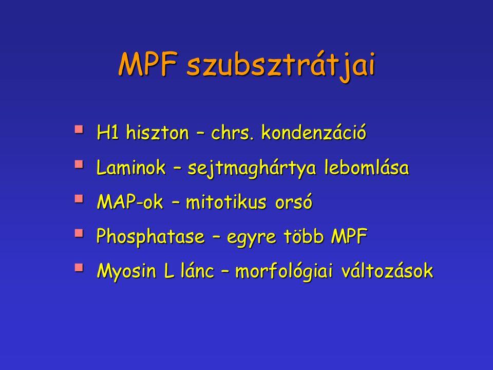 MPF szubsztrátjai H1 hiszton – chrs. kondenzáció