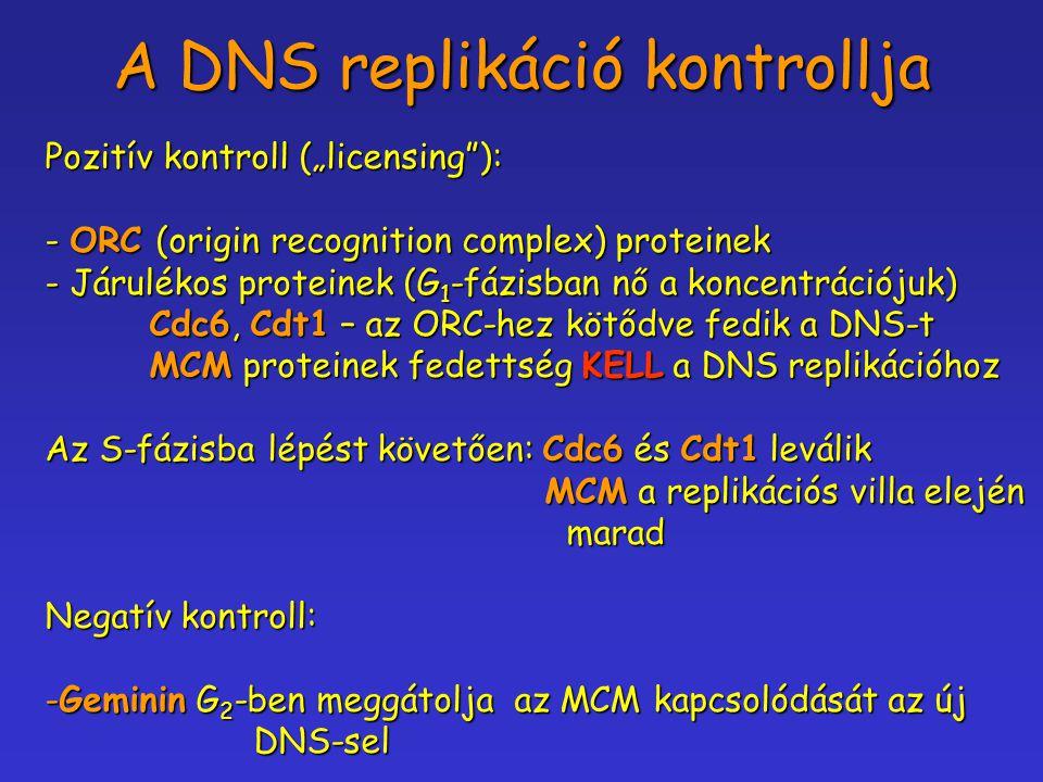 A DNS replikáció kontrollja