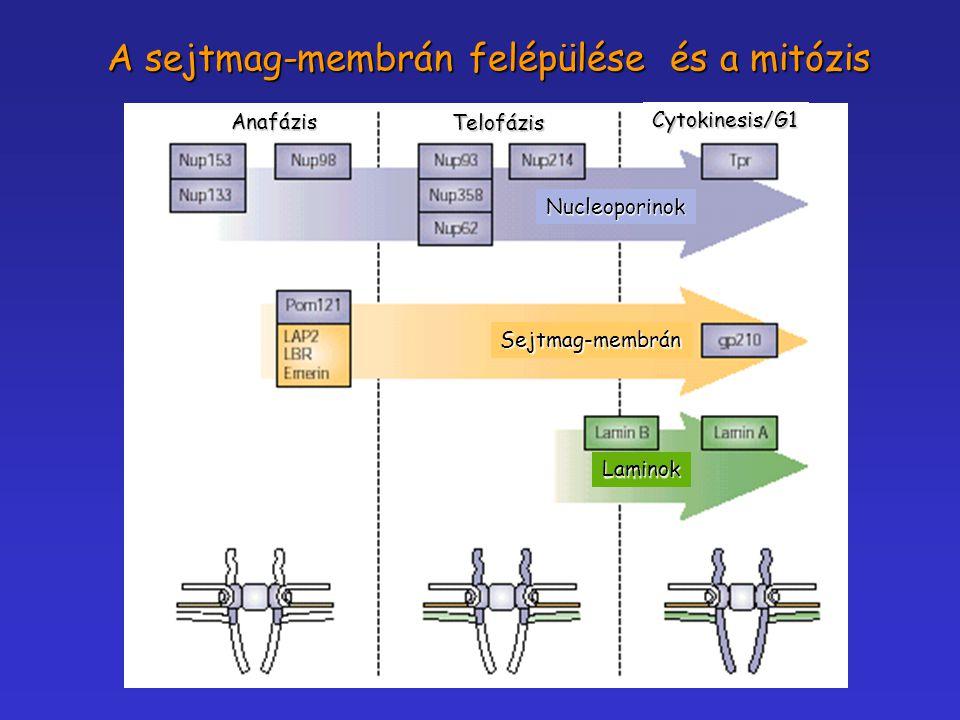 A sejtmag-membrán felépülése és a mitózis
