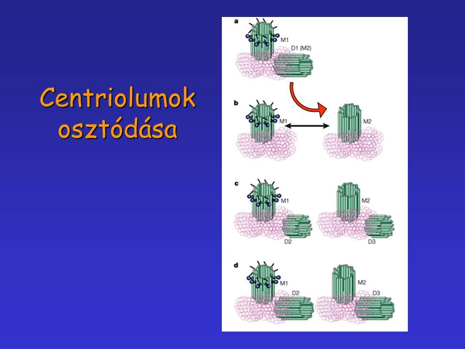 Centriolumok osztódása