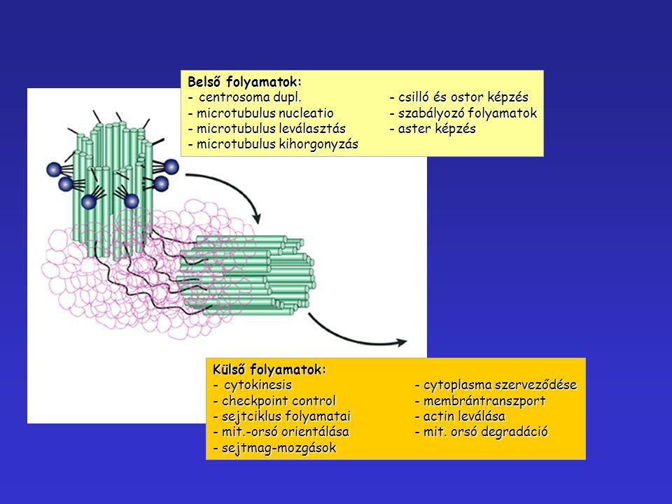 Belső folyamatok: centrosoma dupl. - csilló és ostor képzés. microtubulus nucleatio - szabályozó folyamatok.