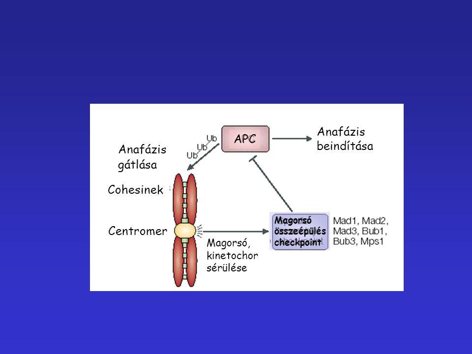Anafázis APC beindítása gátlása Cohesinek Centromer Magorsó,