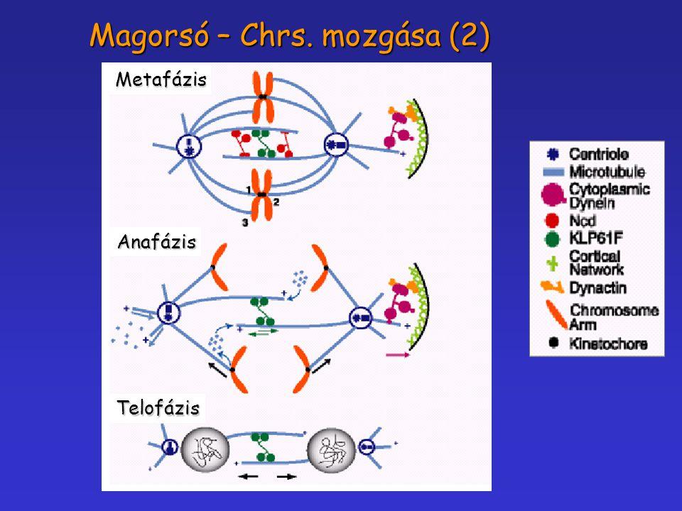 Magorsó – Chrs. mozgása (2)
