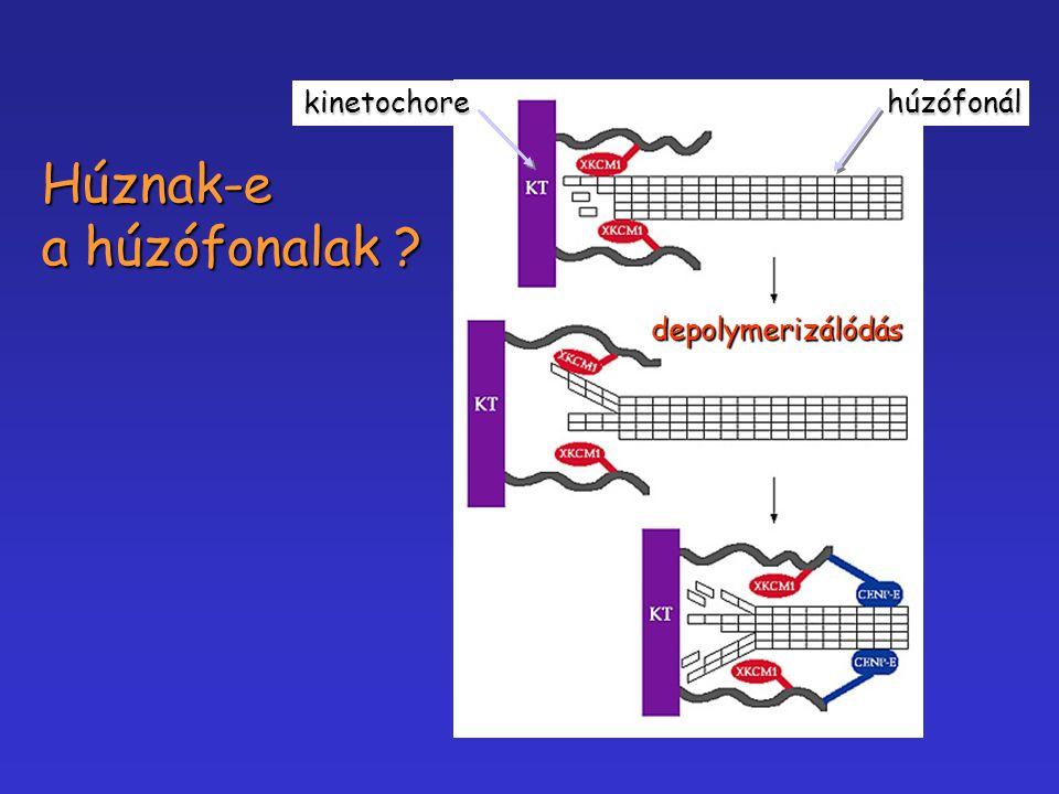 kinetochore húzófonál Húznak-e a húzófonalak depolymerizálódás