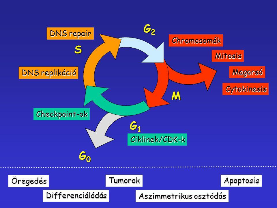 G2 S M G1 G0 DNS repair Chromosomák Mitosis DNS replikáció Magorsó