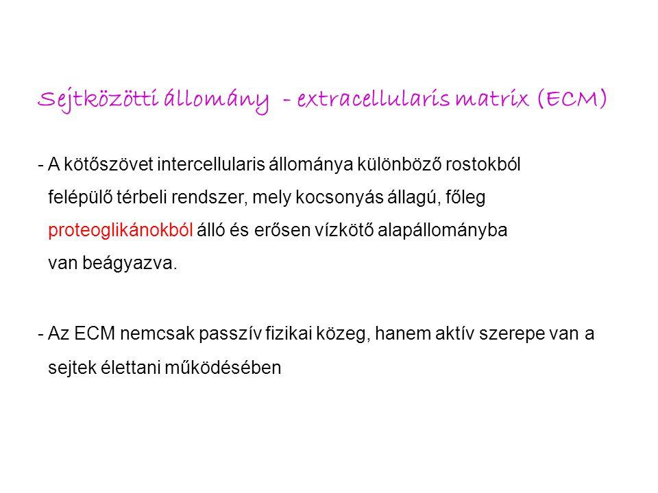 Sejtközötti állomány - extracellularis matrix (ECM)