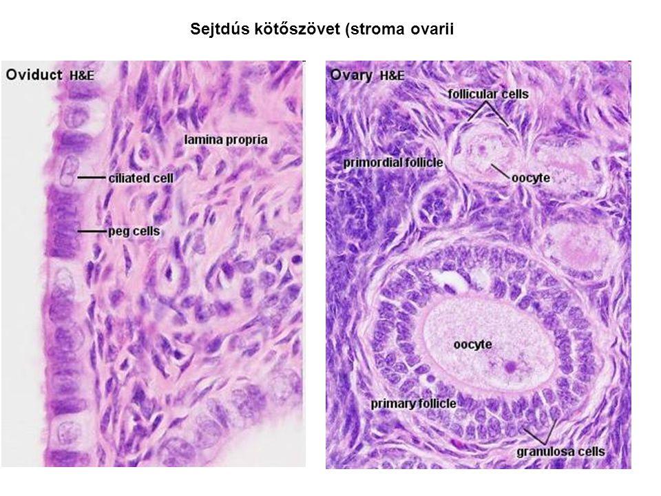 Sejtdús kötőszövet (stroma ovarii