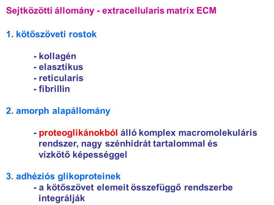 Sejtközötti állomány - extracellularis matrix ECM