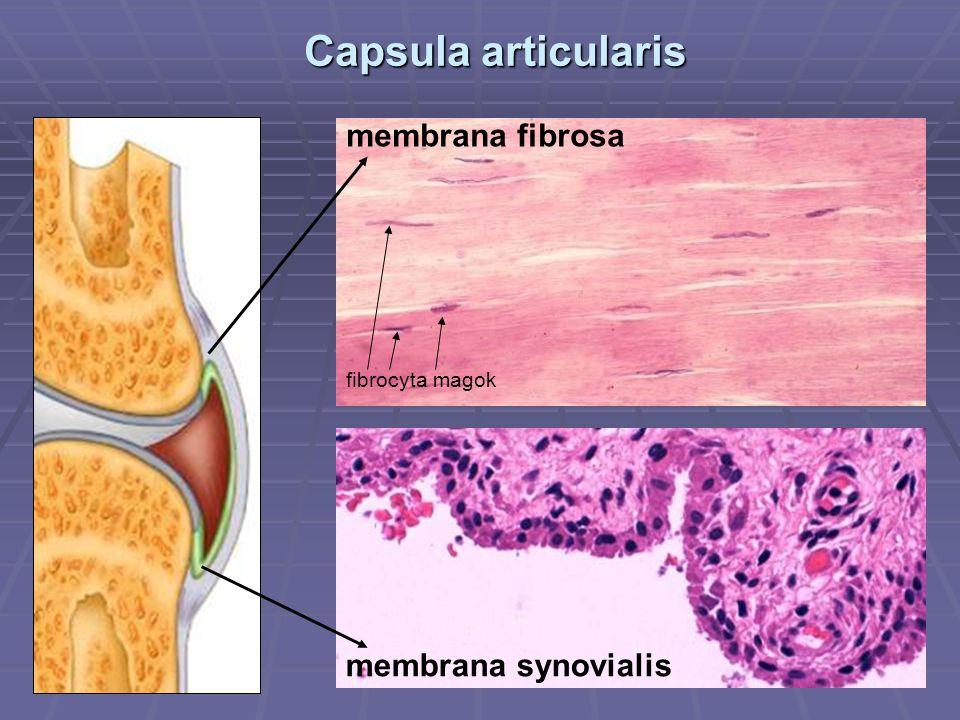 Capsula articularis membrana fibrosa membrana synovialis