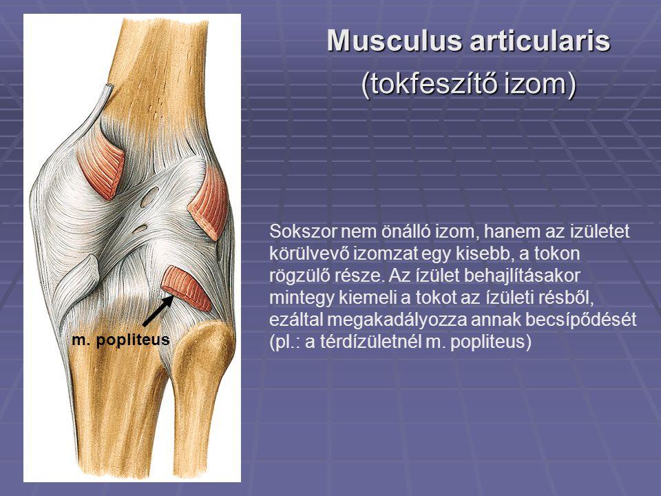 Musculus articularis (tokfeszítő izom)