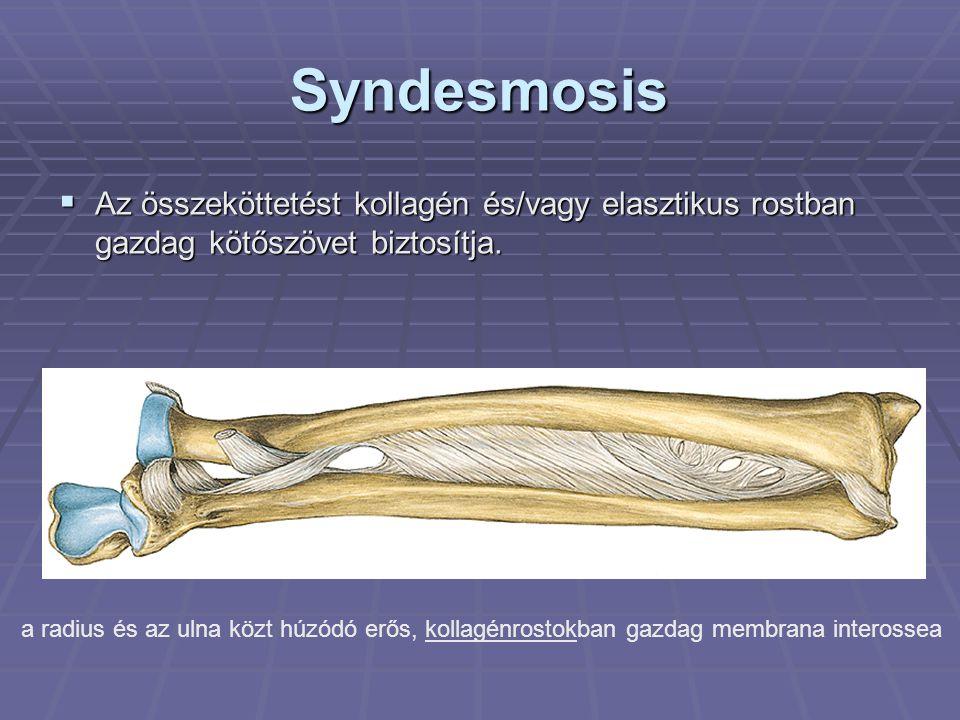 Syndesmosis Az összeköttetést kollagén és/vagy elasztikus rostban gazdag kötőszövet biztosítja.