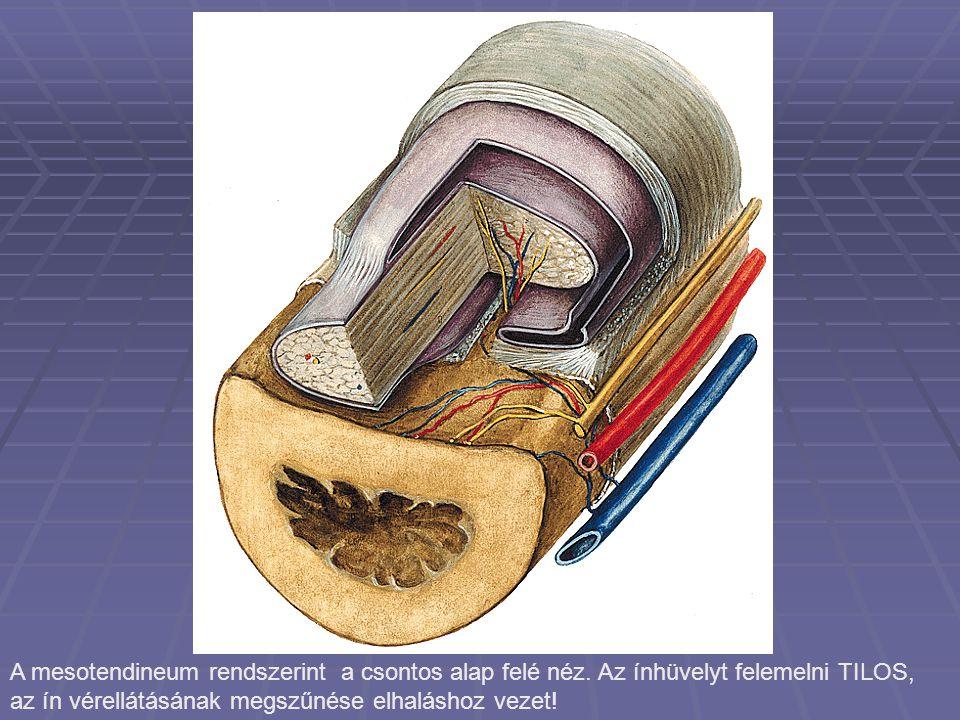 A mesotendineum rendszerint a csontos alap felé néz