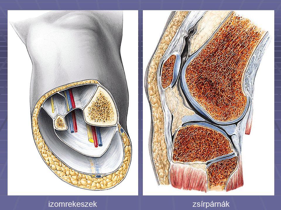 izomrekeszek zsírpárnák