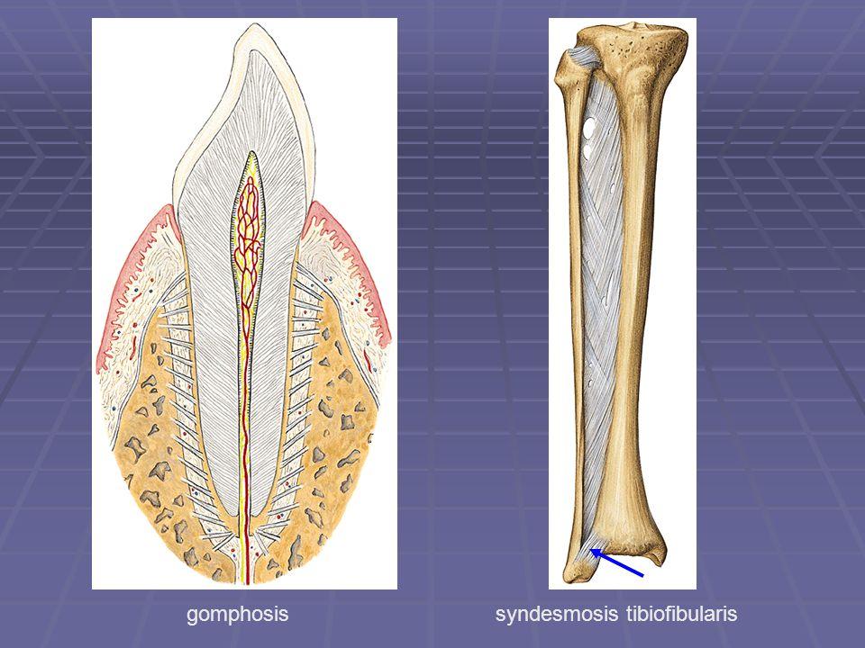 gomphosis syndesmosis tibiofibularis