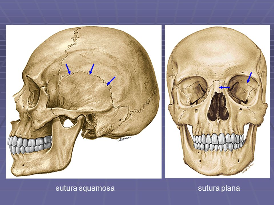 sutura squamosa sutura plana
