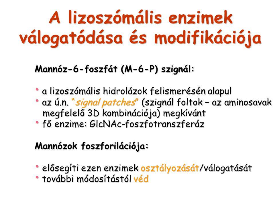 A lizoszómális enzimek válogatódása és modifikációja
