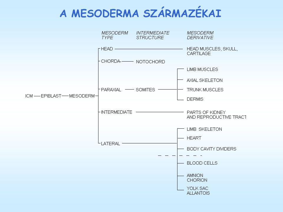 A MESODERMA SZÁRMAZÉKAI