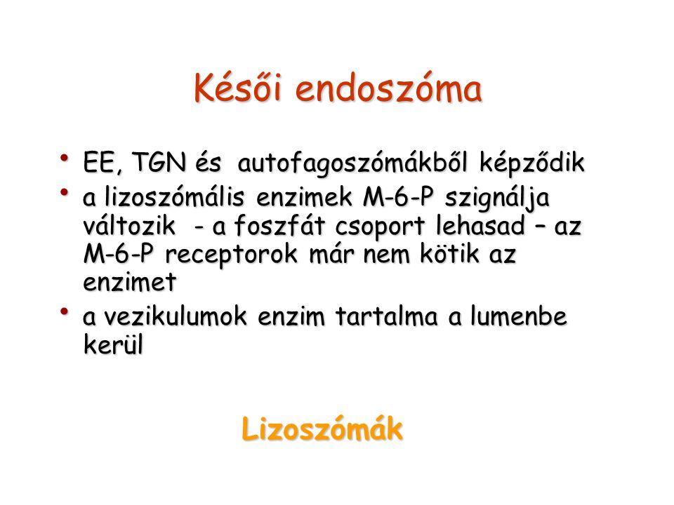 Késői endoszóma Lizoszómák EE, TGN és autofagoszómákből képződik