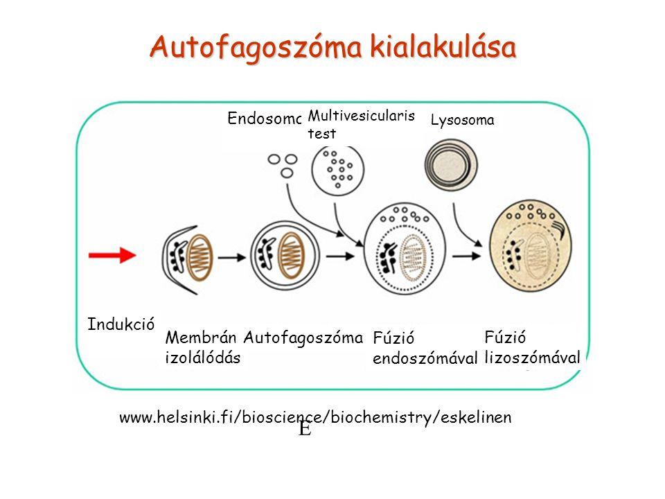 Autofagoszóma kialakulása