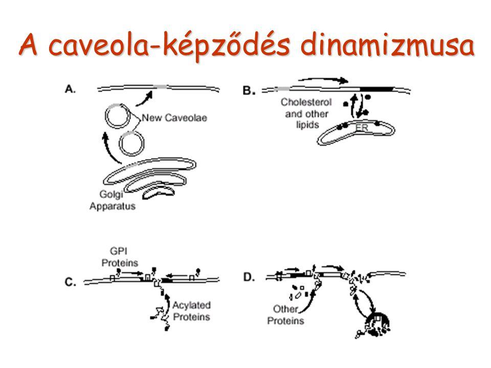 A caveola-képződés dinamizmusa