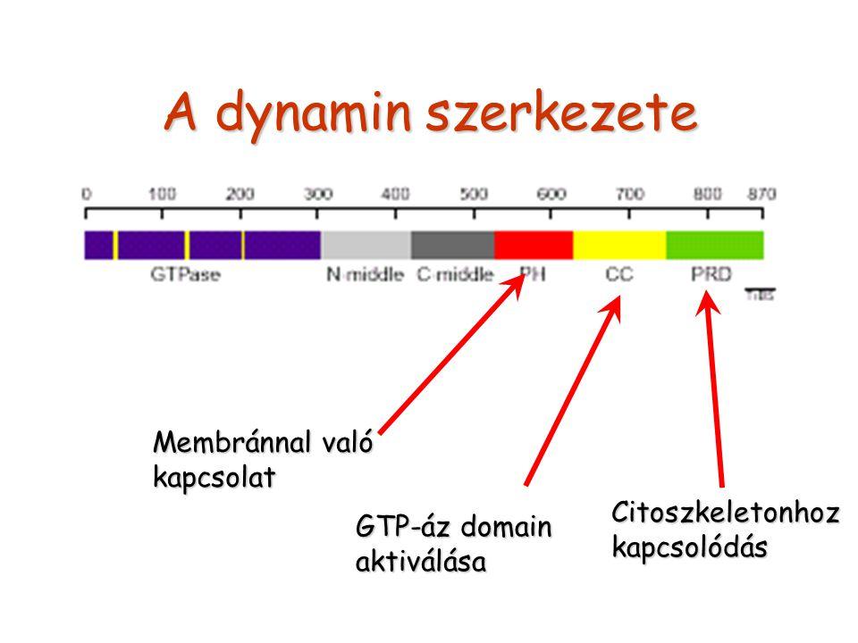 A dynamin szerkezete Membránnal való kapcsolat Citoszkeletonhoz
