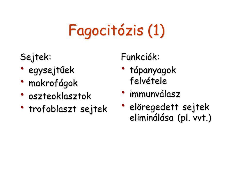 Fagocitózis (1) Sejtek: egysejtűek makrofágok oszteoklasztok