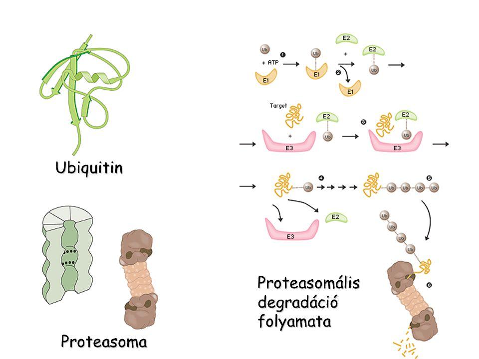 Ubiquitin Proteasomális degradáció folyamata Proteasoma