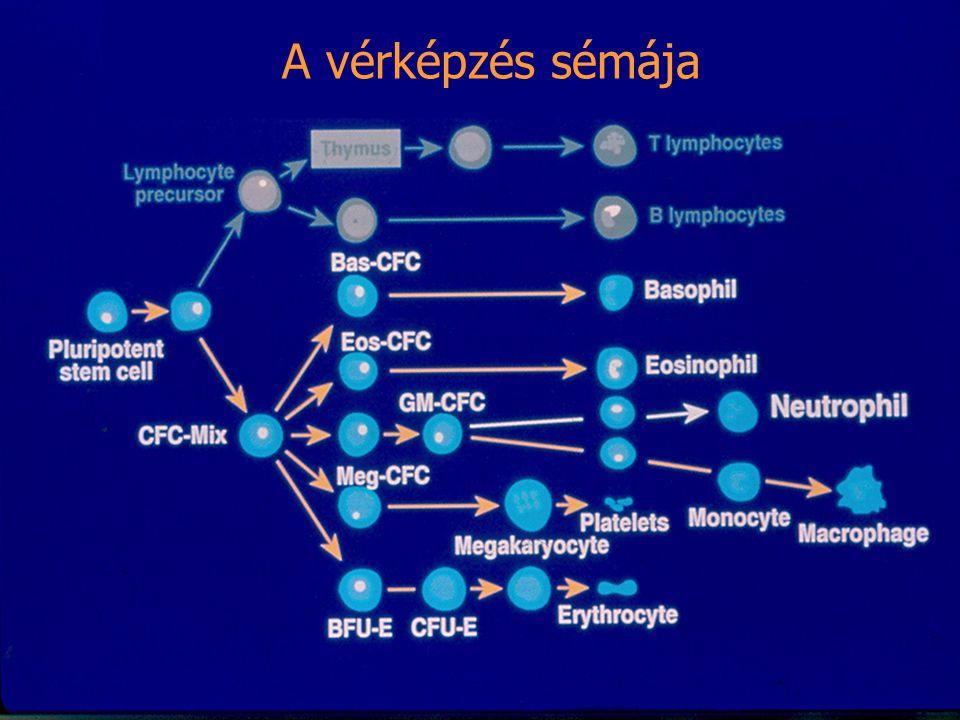A vérképzés sémája