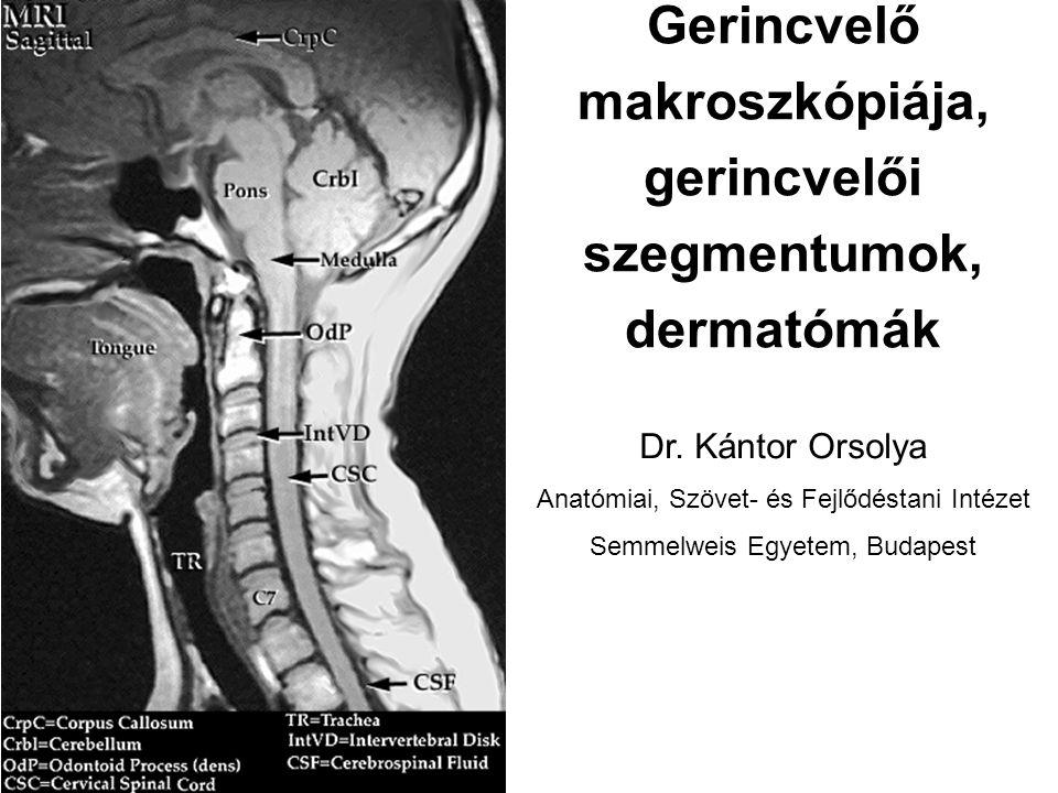 Gerincvelő makroszkópiája, gerincvelői szegmentumok, dermatómák