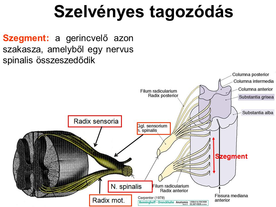 Szelvényes tagozódás Szegment: a gerincvelő azon szakasza, amelyből egy nervus spinalis összeszedődik.
