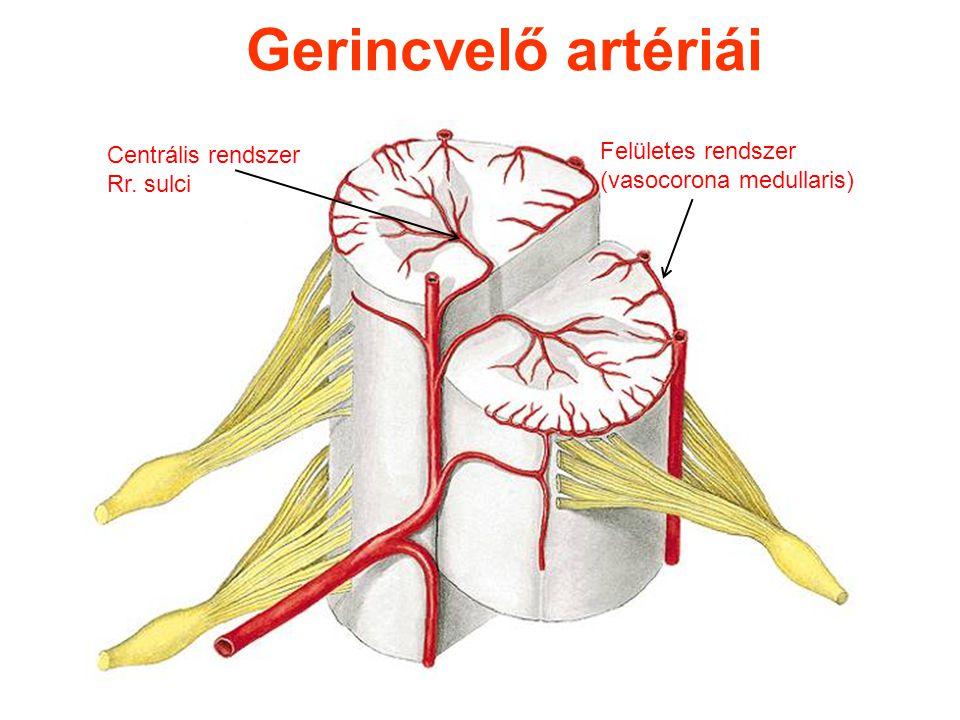 Gerincvelő artériái Felületes rendszer Centrális rendszer