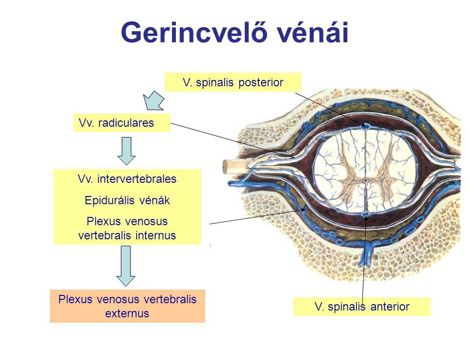 Gerincvelő vénái V. spinalis posterior Vv. radiculares