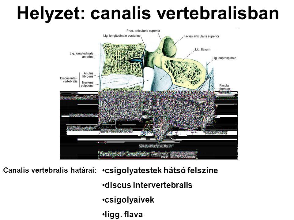 Helyzet: canalis vertebralisban