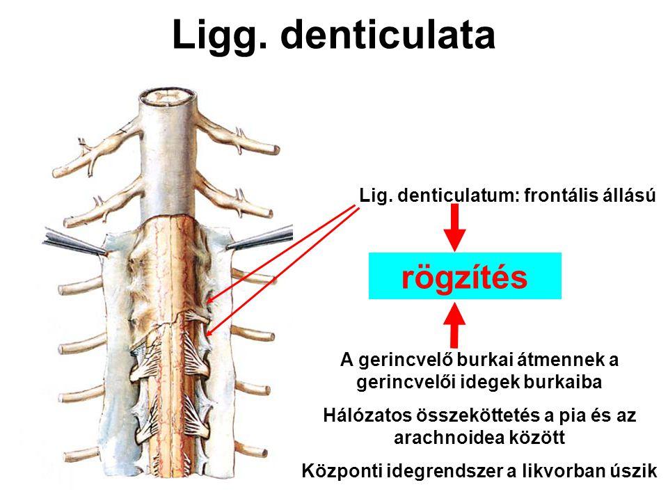 Ligg. denticulata rögzítés Lig. denticulatum: frontális állású