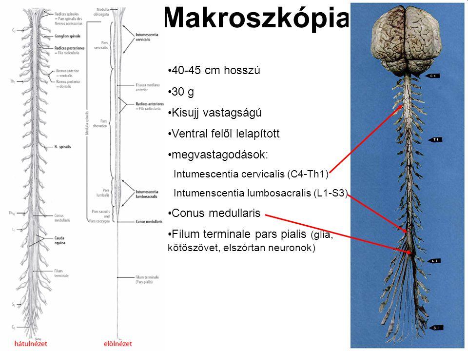 Makroszkópia 40-45 cm hosszú 30 g Kisujj vastagságú