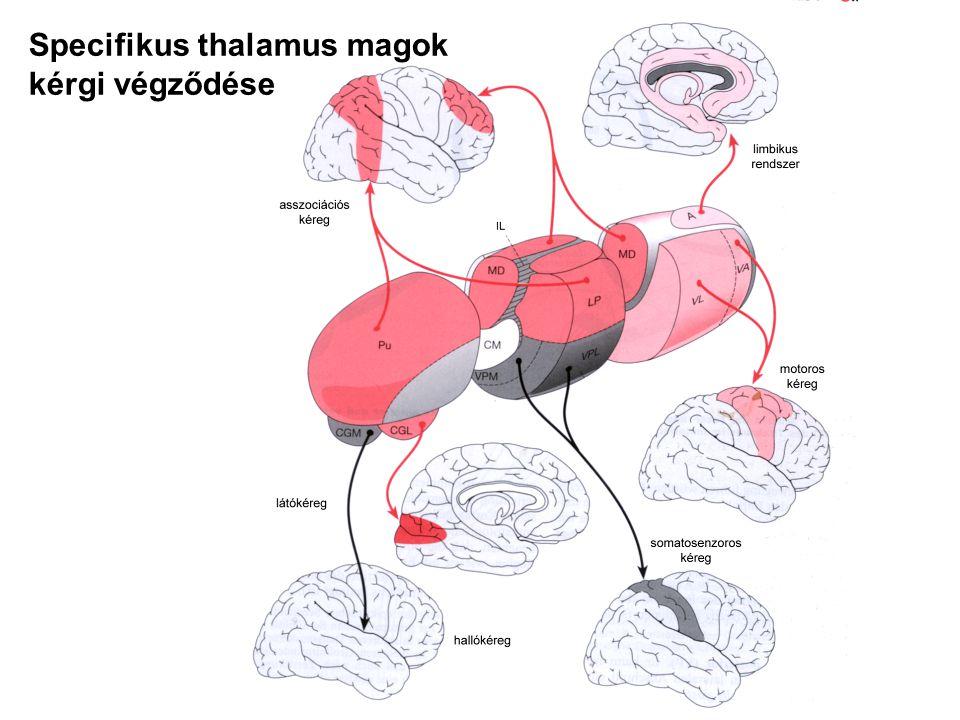 Specifikus thalamus magok