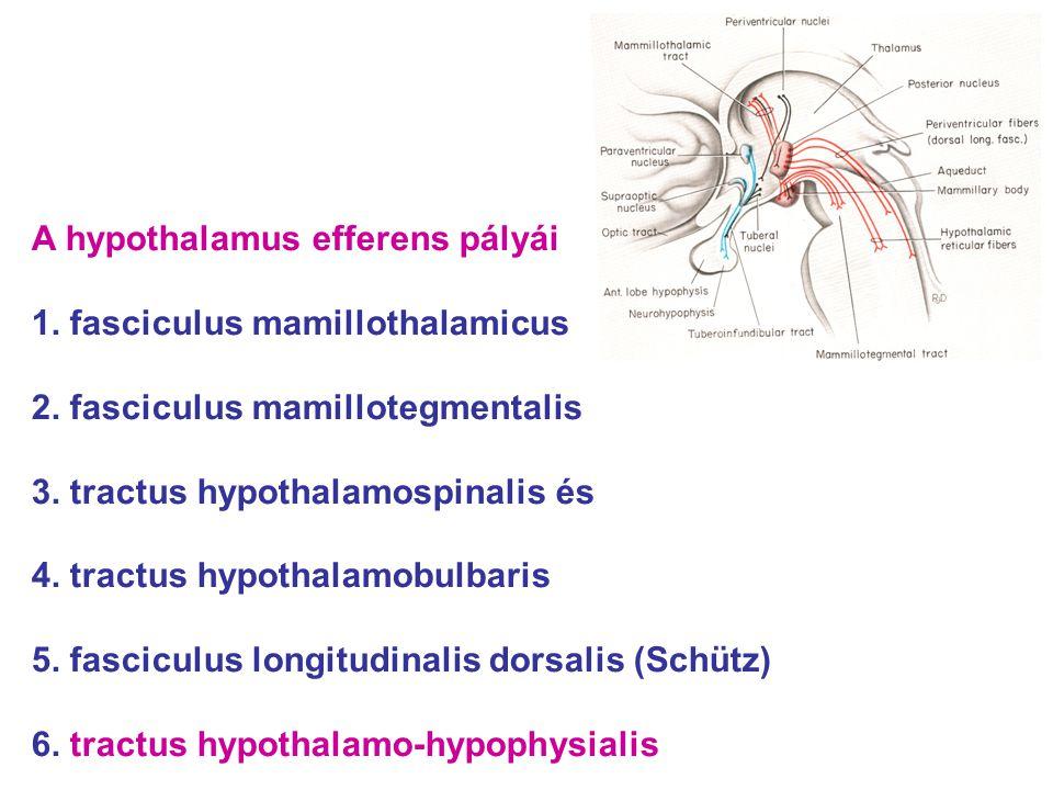 A hypothalamus efferens pályái